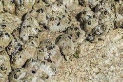 Yellow Sea ekollonar p? stenar bakgrund, n?rbild arkivbild