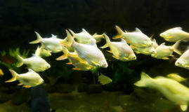 Yellow sea fish are swimming Stock Images