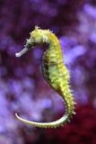 Yellow Sea häst royaltyfri fotografi