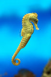 Yellow sea-horse. On blue water background Royalty Free Stock Photography