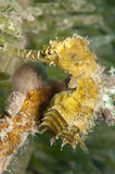 Yellow sea Horse Royalty Free Stock Photos