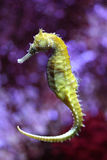 Yellow sea horse Royalty Free Stock Photography
