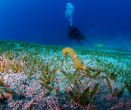 Yellow Sea Horse and Diver Red Sea Royalty Free Stock Image