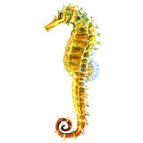 Yellow sea horse, seahorse isolated, watercolor illustration on white Royalty Free Stock Image