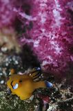 Yellow Sea kula Nudibranch som framme poserar av korall royaltyfria foton