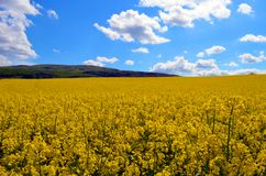 Yellow sea. In Machulince, Slovakia Stock Images