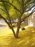 Yellow Sea of Pollen from Palo Verde. The pollen and flowers just kept falling from the trees that were growing heavy with flowers, everywhere you looked was a Royalty Free Stock Images