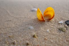 Yellow sea shell on the golden sand of the beack. Yellow sea shell washed out by the waves on to the gold sand of the beach. The sea life and sea creatures are Stock Image