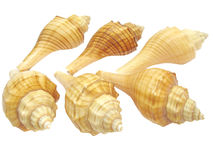 Yellow Sea Shells Stock Images