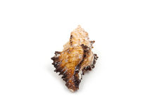 Yellow Sea shells on white Royalty Free Stock Photo