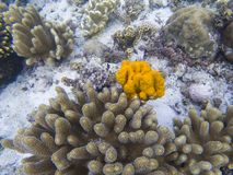 Yellow sea sponge and coral on white sand of tropical sea bottom. Bright orange sea sponge. Coral reef animals. Tropical seashore underwater photo. Coral reef Stock Images