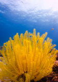 Yellow sea star Royalty Free Stock Images