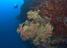 Yellow seafan on wall reef Stock Photos