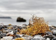 Yellow seagrass on the Baltic Sea royalty free stock image