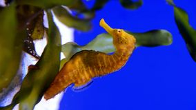 Yellow seahorse in aquarium. stock video