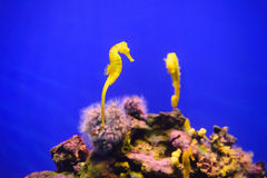 Yellow seahorse. Yellow beautiful seahorses in tropical aquarium Royalty Free Stock Images