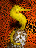 Yellow Seahorse Stock Photo