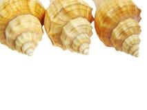 Yellow seashells Royalty Free Stock Images