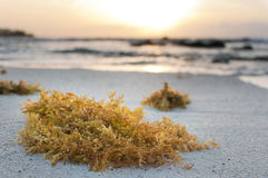 Yellow seaweed Royalty Free Stock Photography