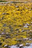 Yellow Seaweed at Low Tide Royalty Free Stock Image