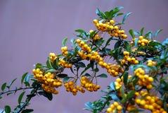 Yellow- Seawegdorn Stockfotos