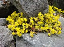 Yellow sedum acre flowers bloom on a rocky seashore Stock Image