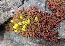 Yellow sedum acre flowers bloom on a rocky seashore Stock Photography