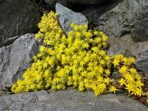 Yellow sedum acre flowers bloom on a rocky seashore Royalty Free Stock Image