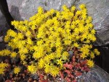 Yellow sedum acre flowers bloom on a rocky seashore Stock Photos