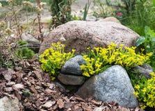 Yellow Sedum on the Alpine hill. Alpine slide with a blooming seduma royalty free stock image