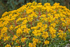 Yellow sedum flowers Royalty Free Stock Photos