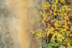 Yellow Sedum flowers growing in the rock Stock Photos