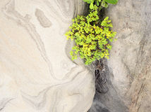 Yellow Sedum flowers growing in the rock Stock Image