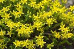 Yellow sedum flowers Stock Images