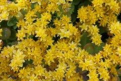 Yellow sedum flowers Stock Image