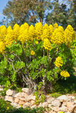 Yellow Sedum in garden Royalty Free Stock Photo