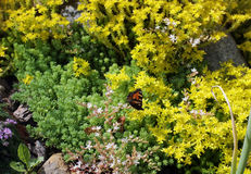 The yellow Sedum in rock gardens Royalty Free Stock Photo