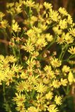 Yellow Senico jacobaea blossoming in garden. Jacobaea vulgaris blooming in field stock image