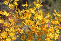 Yellow Senico jacobaea blossoming in garden. Jacobaea vulgaris blooming in field royalty free stock photos