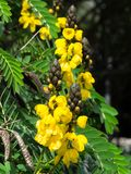 The Yellow Senna didymobotrya flower is a species of flowering plant in the legume family known by the common names African senna. Yellow Senna didymobotrya stock images