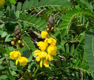 The Yellow Senna didymobotrya flower is a species of flowering plant in the legume family known by the common names African senna. Yellow Senna didymobotrya stock image