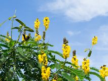 The Yellow Senna didymobotrya flower is a species of flowering plant in the legume family known by the common names African senna. Yellow Senna didymobotrya stock photography