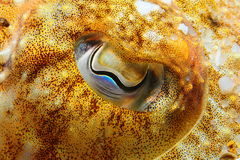 Yellow Sepia officinalis eye. A macro of a Sepia officinalis (Cuttlefish Stock Image