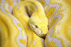 Yellow Serpent Stock Image