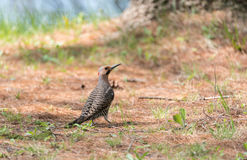 Yellow shafted flicker Colaptes auratus, on the ground hunting grubs. Stock Image