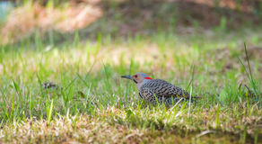 Yellow shafted flicker Colaptes auratus, on the ground hunting grubs. Stock Photo