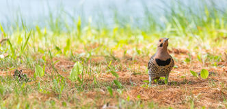 Yellow shafted flicker Colaptes auratus, on the ground hunting grubs. Royalty Free Stock Photography