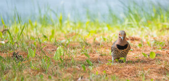 Yellow shafted flicker Colaptes auratus, on the ground hunting grubs. Royalty Free Stock Photo