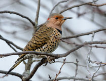 Yellow shafted Flicker Stock Image
