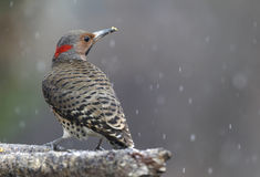 Yellow shafted flicker Stock Photography